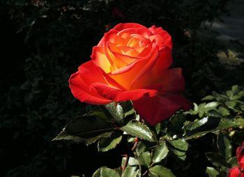 rose1754.jpg